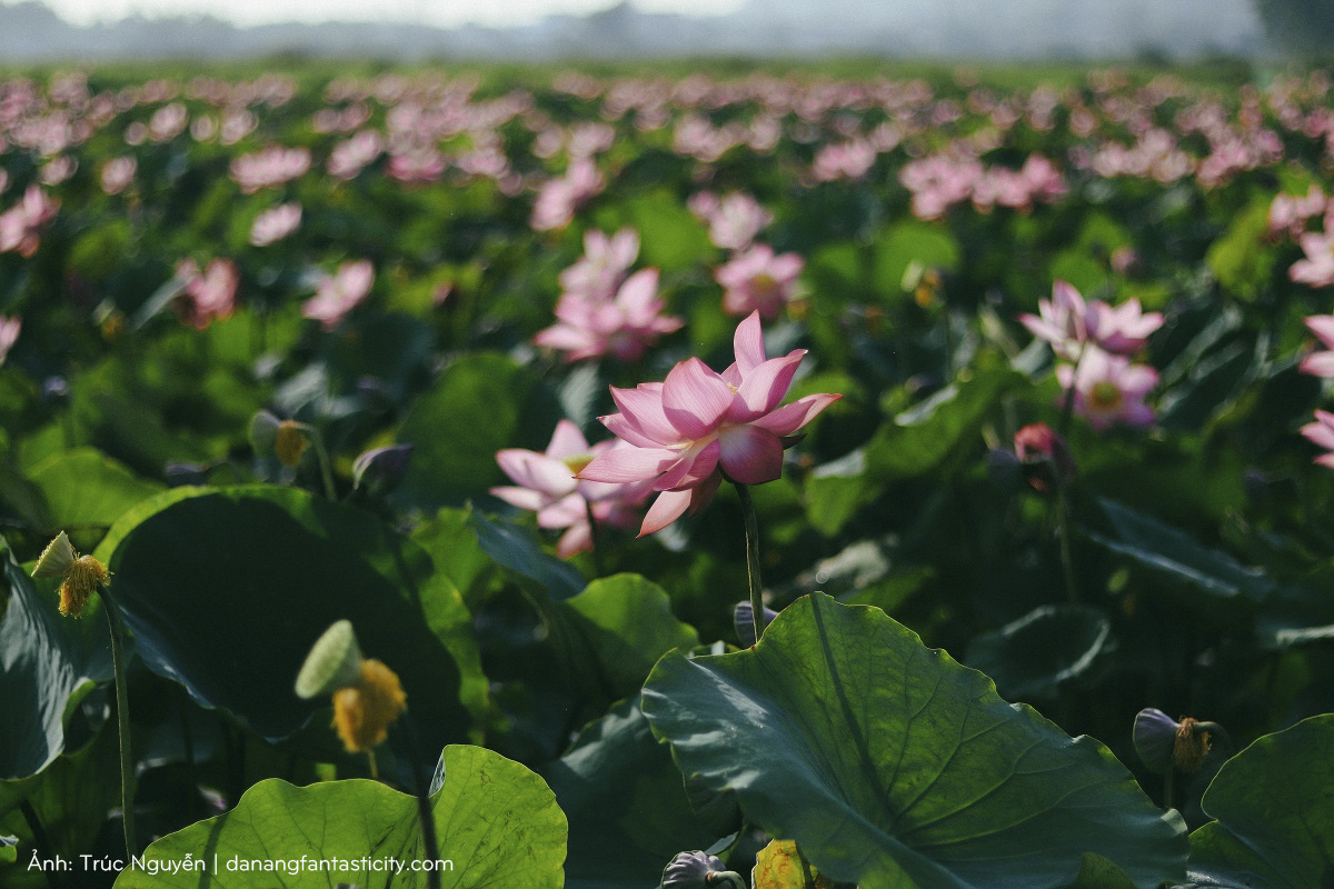 Bát ngát cánh đồng Sen nở rộ giữa ngoại ô Đà Nẵng 1