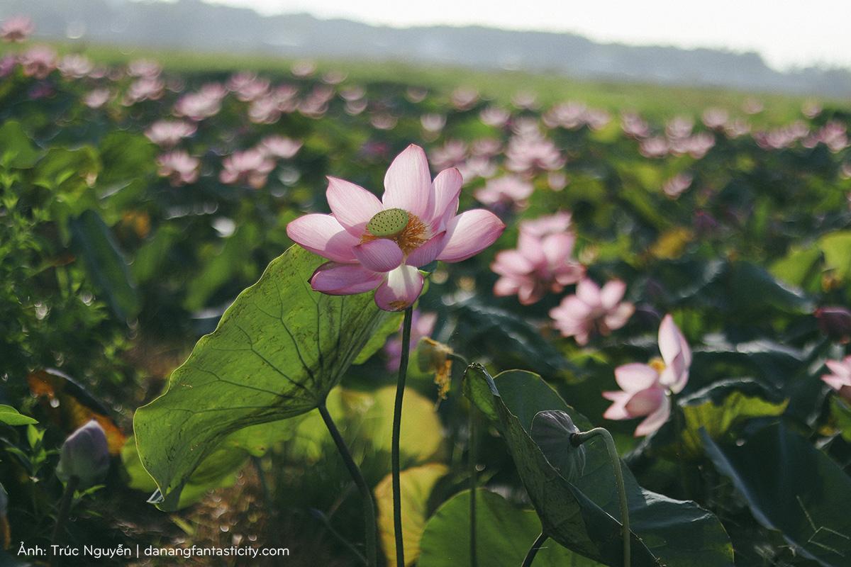 Bát ngát cánh đồng Sen nở rộ giữa ngoại ô Đà Nẵng 2