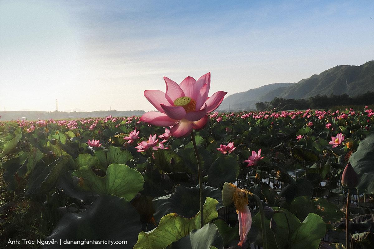 Bát ngát cánh đồng Sen nở rộ giữa ngoại ô Đà Nẵng 4