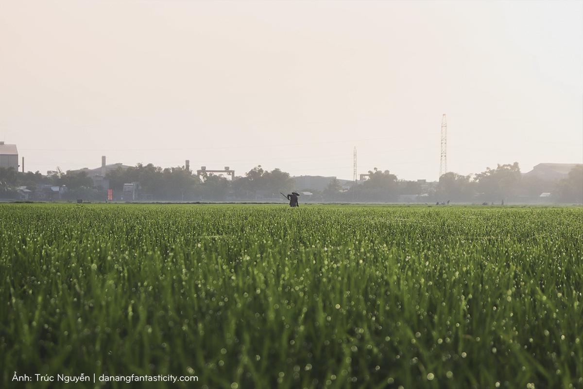 Bát ngát cánh đồng Sen nở rộ giữa ngoại ô Đà Nẵng 5