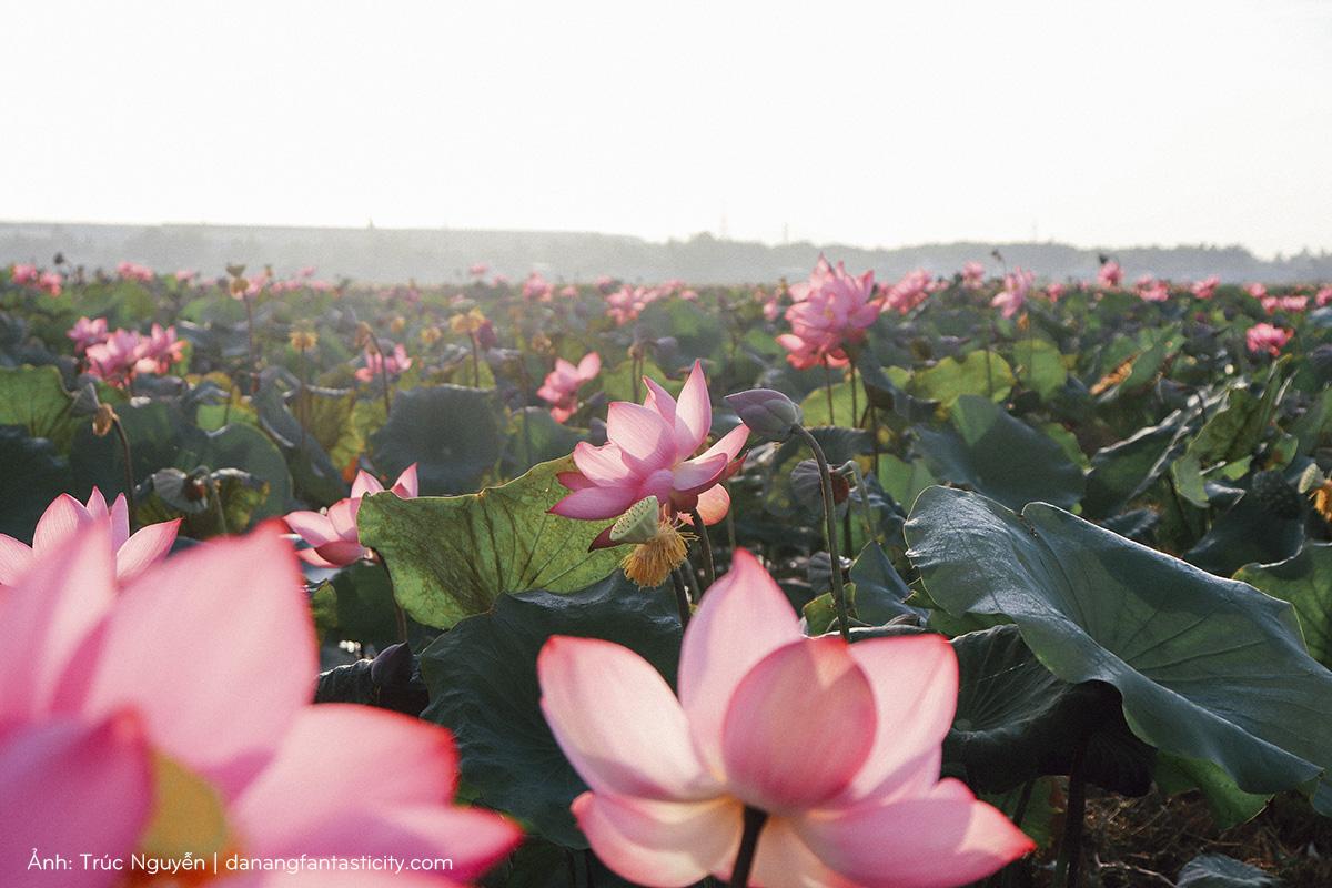 Bát ngát cánh đồng Sen nở rộ giữa ngoại ô Đà Nẵng 6