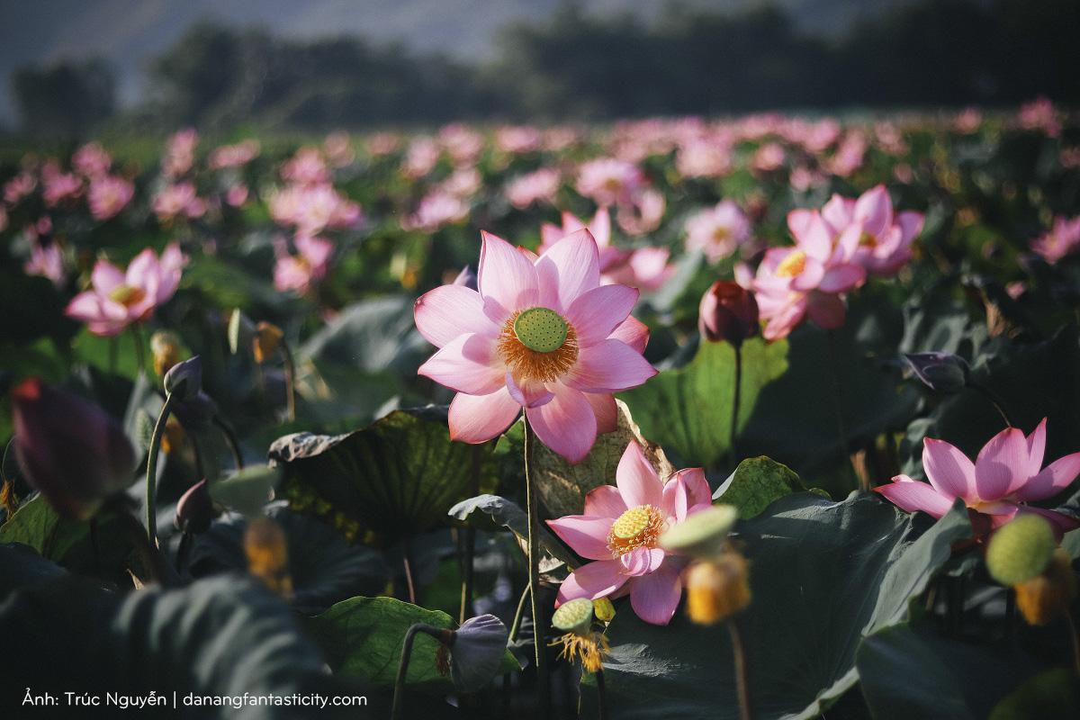 Bát ngát cánh đồng Sen nở rộ giữa ngoại ô Đà Nẵng
