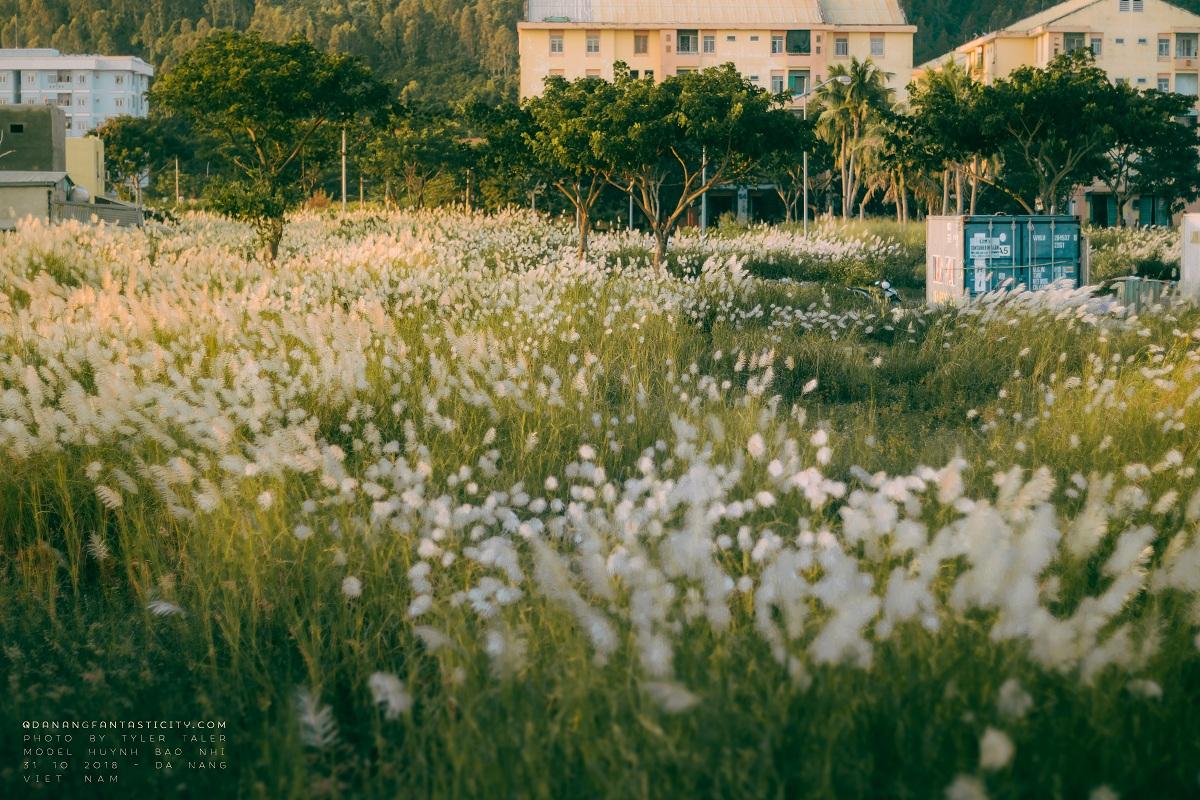 Cỏ lau đã vào mùa rồi, Đà Nẵng những ngày này đẹp lắm! Mùa cỏ lau tại Đà Nẵng 7