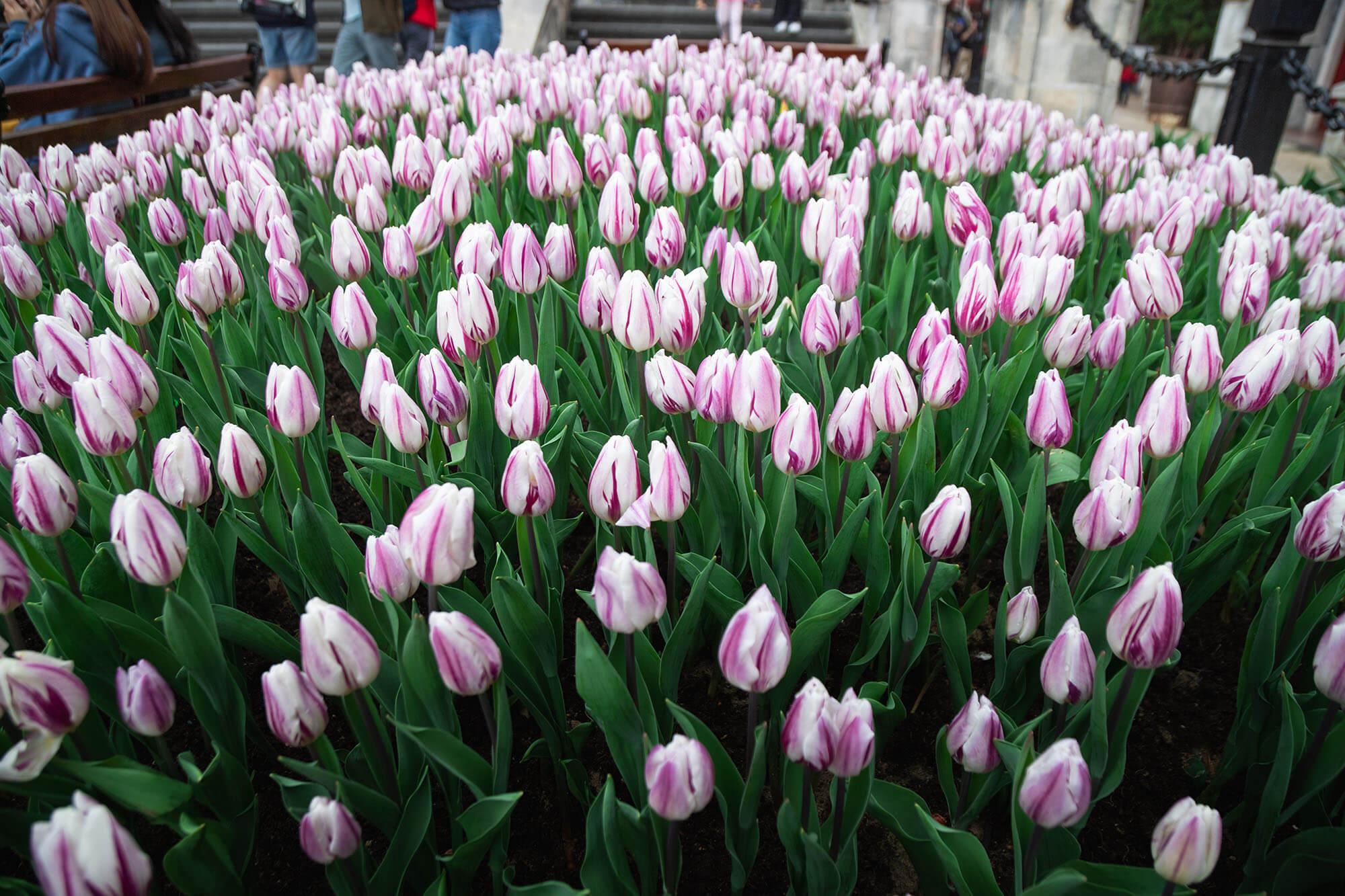 Ruc Ro Le Hoi Hoa Tulip Tai Ba Na 011