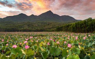 Cách Đà Nẵng không xa – Có một đồng sen Trà Lý đang vào mùa